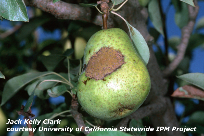 Pear Scab | New England Tree Fruit Management Guide