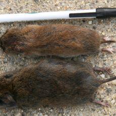 Meadow and pine vole, Alan Eaton