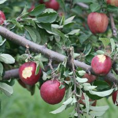 porcupine damage in delicious apple, Alan Eaton