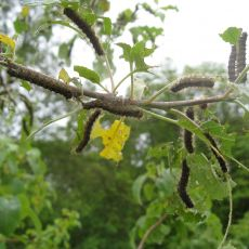 Large gypsy moth caterpillars can walk into orchards from infested woods.