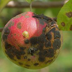 Severe scab on unsprayed apple.