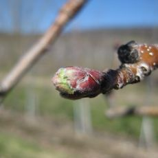 green tip apple bud