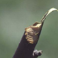 porcupine-browsed twig, Alan Eaton