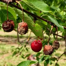 cherry brown rot fruit