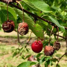 cherry brown rot fruit