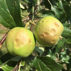 hail damage to apple
