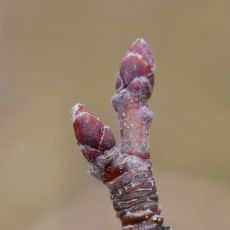 dormant apple bud