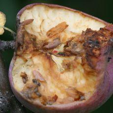 small rodent injury to fruit, Alan Eaton