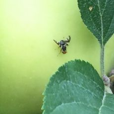 Adult apple maggot fly on an apple fruit