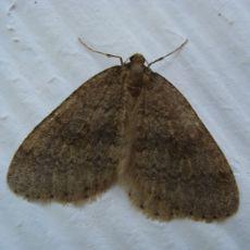 Male winter moth found Nov-Dec