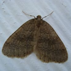 Male winter moth found Nov-Dec