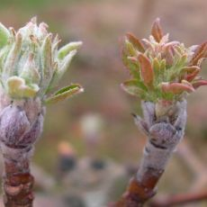 Right, powdery mildew infected terminal bud; left, healthy.
