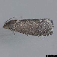 Oriental fruit moth, Grapholita molesta (photo: Mark Dreiling, Bugwood.org)