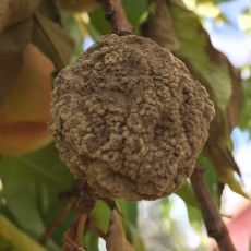 Brown rot on peach at harvest time.