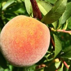 Early development of peach scab lesions.