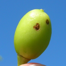 egg-laying scar on cherry fruit caused by plum curculio