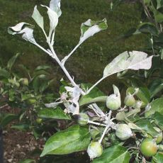 Primary powdery mildew infection on apple shoot and young fruit.