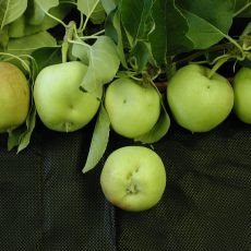 Apples damaged by tarnished plant bug feeding on flower buds.