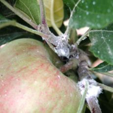 Woolly apple aphid (Photo: Ontario OMAFRA)