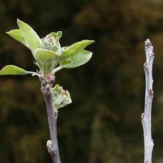 Right, winter killed infected buds on shoot; left, normal shoot.