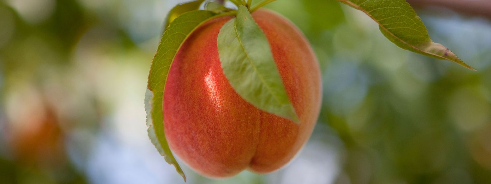 Cold Spring Orchard Peaches